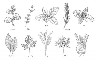 Obraz Collection of seasoning and culinary herb, hand drawn sketch vector illustration, vintage engraving set isolated on white background.