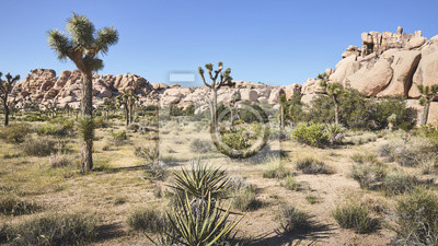 Color toned panoramic picture of the Joshua Tree National Park landscape, California, America.