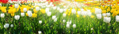 Obraz Colorful tulips blooming in a field
