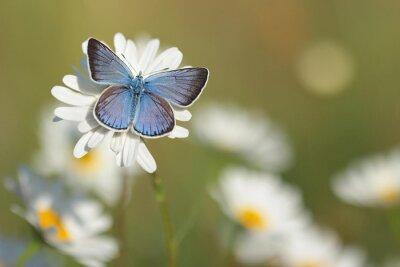 Obraz Common Blue Butterfly