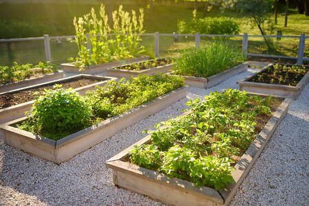 Obraz Community kitchen garden. Raised garden beds with plants in vegetable community garden. Lessons of gardening for kids.