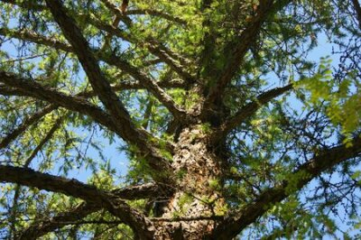 Obraz Conifer larch type from below year daytime