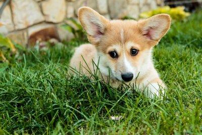 Obraz Corgi szczeniak szpiegostwo na trawie