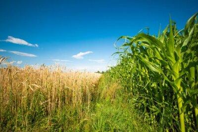 Obraz Corn maize field against blue sky in summer.