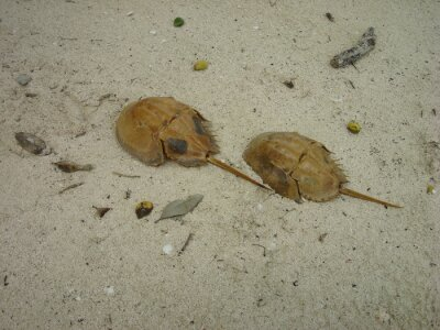 Couple of atlantic horseshoe crabs
