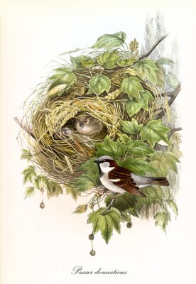 Obraz Couple of cute birds and their thick nest on a leafed single branch. Detailed hand colored old illustration of House Sparrow (Passer domesticus). By John Gould publ. In London 1862 - 1873