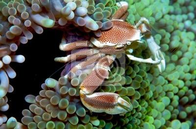 Crab Anemone