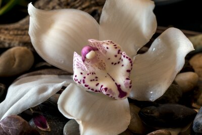 Obraz Cymbidium Orchidea lub łodzi