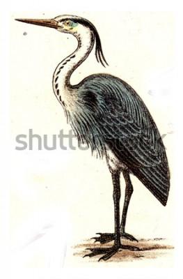 Obraz Czapla, vintage grawerowane ilustracja. Z Atlasu Deutch Birds of Europe.