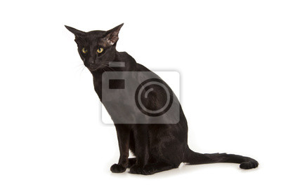 Obraz Czarny Kot Orientalny Na Wymiar Czarny Młody Tło Redropl