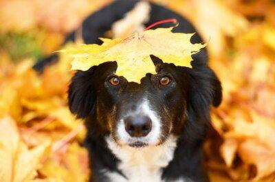 Obraz Czarny pies i liść klonu, jesienią