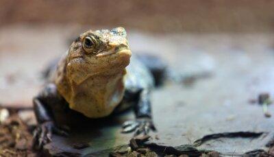Obraz czarny spiny-ogoniasty iguana