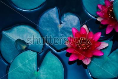 Obraz czerwona lilia wodna lilia kwitnąca na powierzchni wody i ciemnoniebieskie liście tonowana, czystość tła, roślin wodnych, symbol buddyzmu.