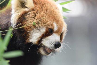 Obraz czerwona panda