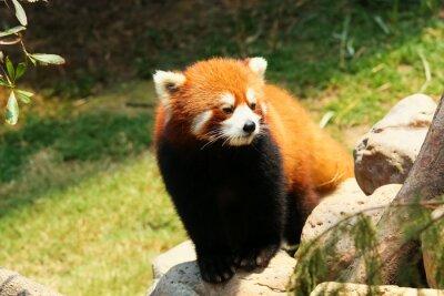 Obraz Czerwona panda spaceru