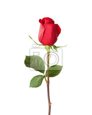 Czerwona róża samodzielnie na białym tle