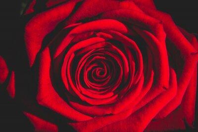 Obraz czerwona róża z ciemności