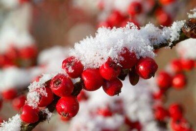 Obraz czerwone jagody irga w śniegu