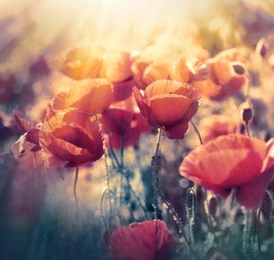 Obraz Czerwone maki na łące - dzikie kwiaty maku