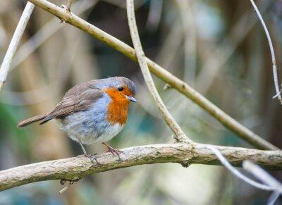 Obraz czerwone piersi robin ptak siedzący na gałęzi drzewa