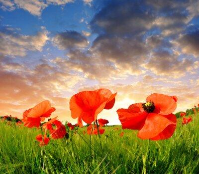 Obraz czerwone pole maku w zachodzie słońca