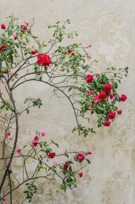 Obraz Czerwone róże bush na ścianie tła