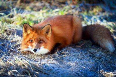 Obraz czerwony lis
