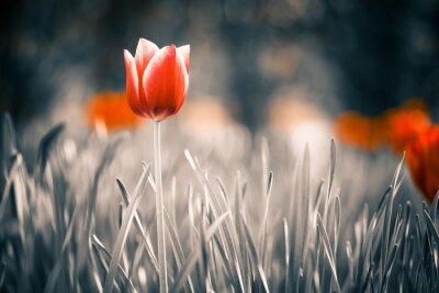 Obraz czerwony tulipan w ogrodzie wiosną