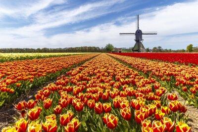 Obraz Czerwony żółty tulipan gospodarstwa żarówki z wiatraka w kraju stronie