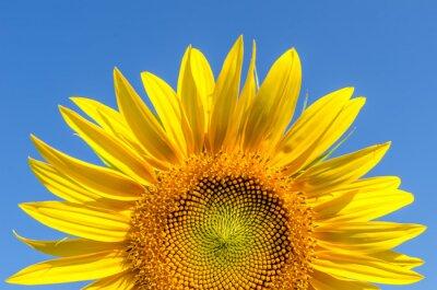 Obraz część słonecznika i błękitne niebo