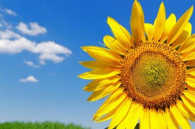 Obraz część słonecznika i niebo
