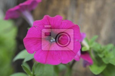 Cztery o'clocks Flower / Cztery o'clocks kwiat w ogrodzie.