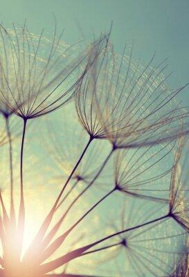 Obraz Dandelion kwiat o zachodzie słońca. Szczegóły pięknej przyrody.