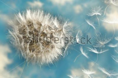 Obraz Dandelion Loosing Seeds in the Wind