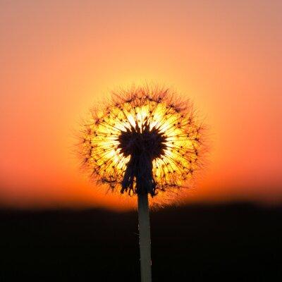 Obraz Dandelion na zachód słońca