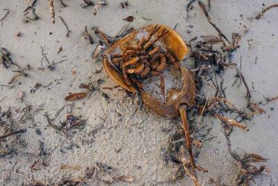 Dead Atlantic horseshoe crab at Staten Island beach, mexico