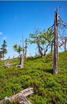 Dead trees in Karkonosze National Park, Poland.