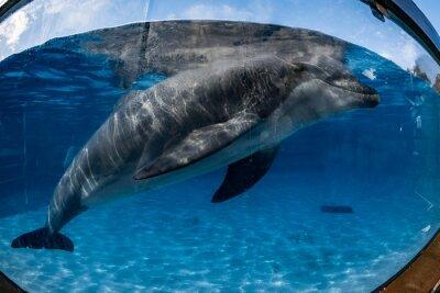 Obraz Delfin portret patrząc na ciebie z akwarium