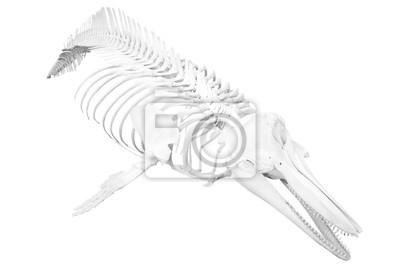 delfin szkielet izolowane