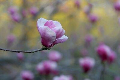 Obraz Delikatny różowy kwiat magnolii na niewyraźne tło