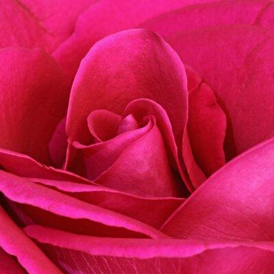 Obraz Détail d'une rose