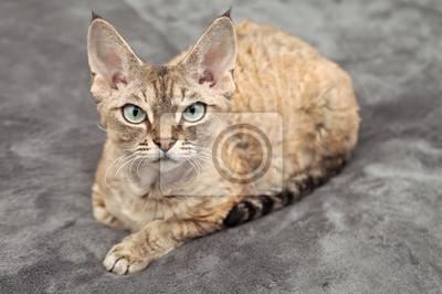 Obraz Devon Rex Piękny Pręgowany Kot R Na Wymiar Elegancki
