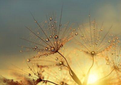 Obraz Dewy kwiat mniszka lekarskiego o świcie bliska. Naturalne tła.