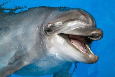 Obraz Dolphin patrząc w górę