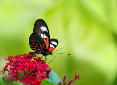 Obraz Doris Longwing Butterfly (Heliconius Doris)