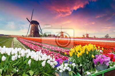 Obraz Dramatyczna scena wiosny na farmie tulipanów. Kolorowy zmierzch w holandiach, Europa.