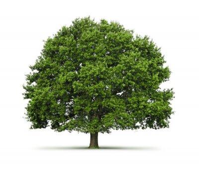 Drzewo ( dąb) na białym tle