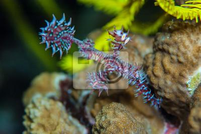 Duch pipefish