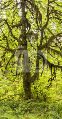 Duży liść klonu Hoh Rainforest Panorama