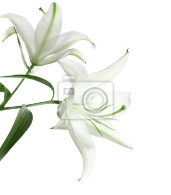 dwa biała lilia na białym tle
